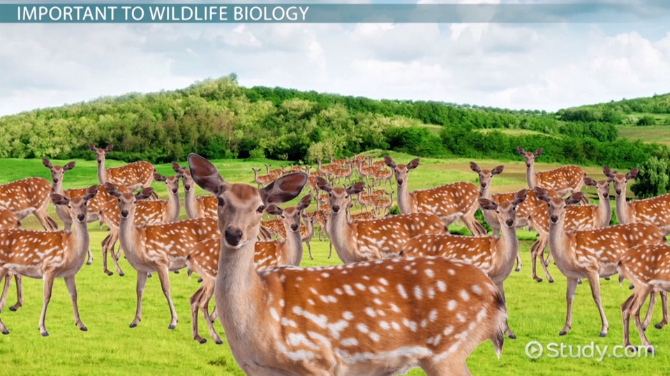 Metapopulation Definition Theory Amp Examples Video