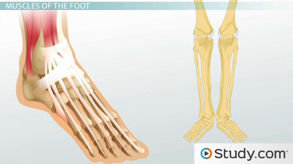 Muscular Function and Anatomy of the Lower Leg and Foot - Video ...