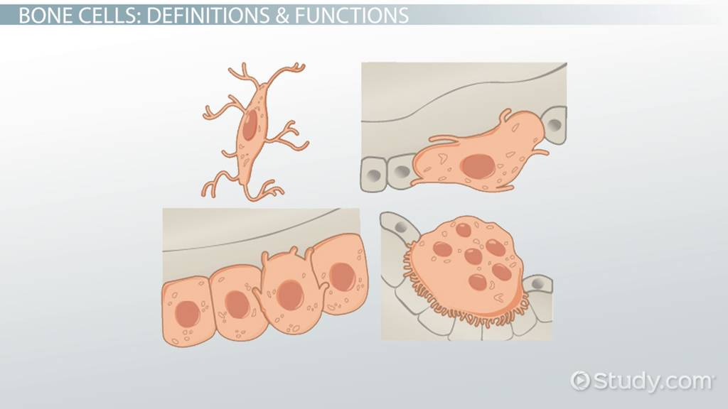 Types Of Bone Cells Video Lesson Transcript Study Com