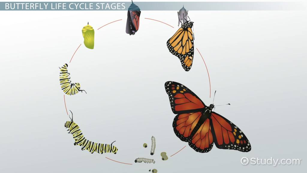 Life Cycle Of A Butterfly Lesson For Kids Video Lesson