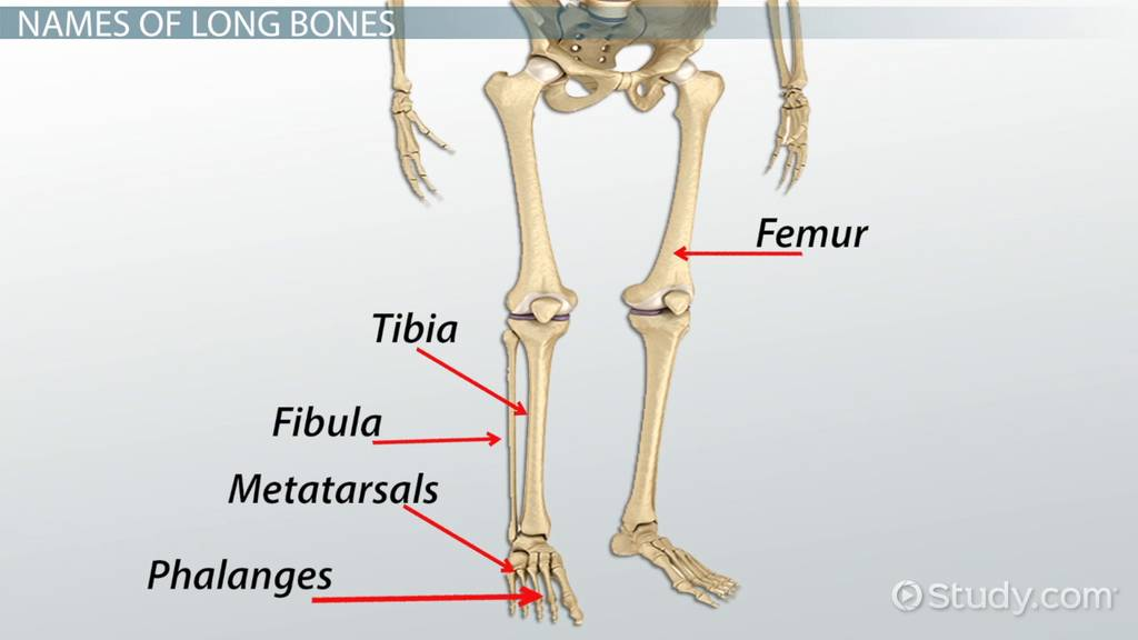 Long Bones In The Human Body Video Lesson Transcript Study