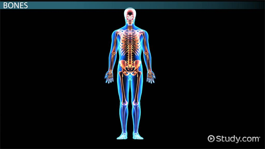 Skeletal System Organs Function Video Lesson Transcript
