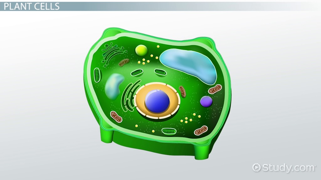 What Does The Nucleus Do In A Plant Cell Video Amp Lesson