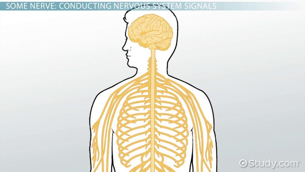afferent division of the peripheral nervous system video lesson rh study com Autonomic Nervous System Practice Test Autonomic Nervous System Practice Test