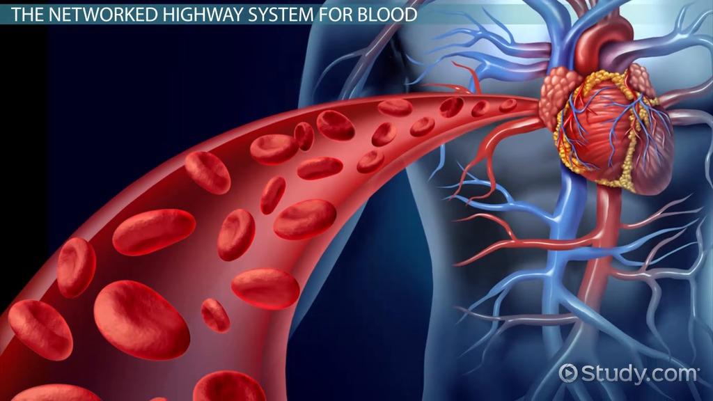 Pulmonary Arteries Function Anatomy Video Lesson Transcript