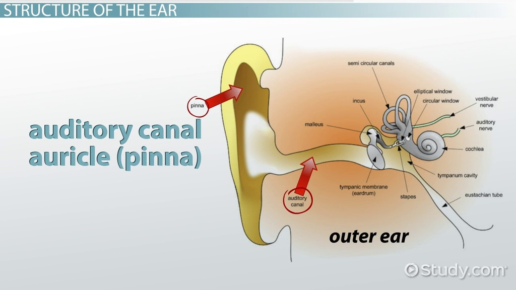 Place Theory Of Hearing Definition Explanation Video Lesson