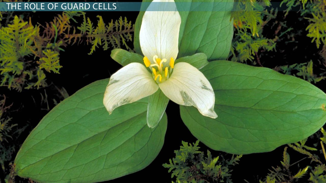 Plant Guard Cells: Function & Definition - Video & Lesson ...