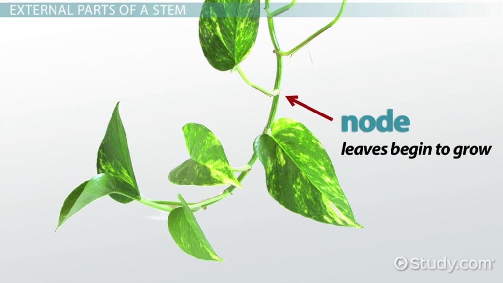 Plant Stem: Function, Types & Parts - Video & Lesson Transcript ...