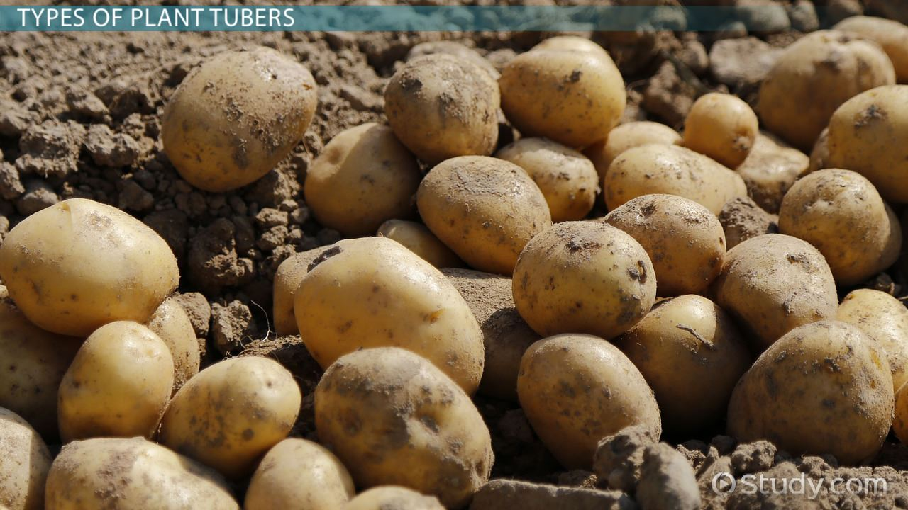Asexual reproduction in plants tubers food