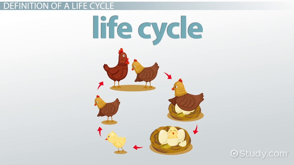 What is a Life Cycle? - Definition, Stages & Examples - Video & Lesson  Transcript | Study.com