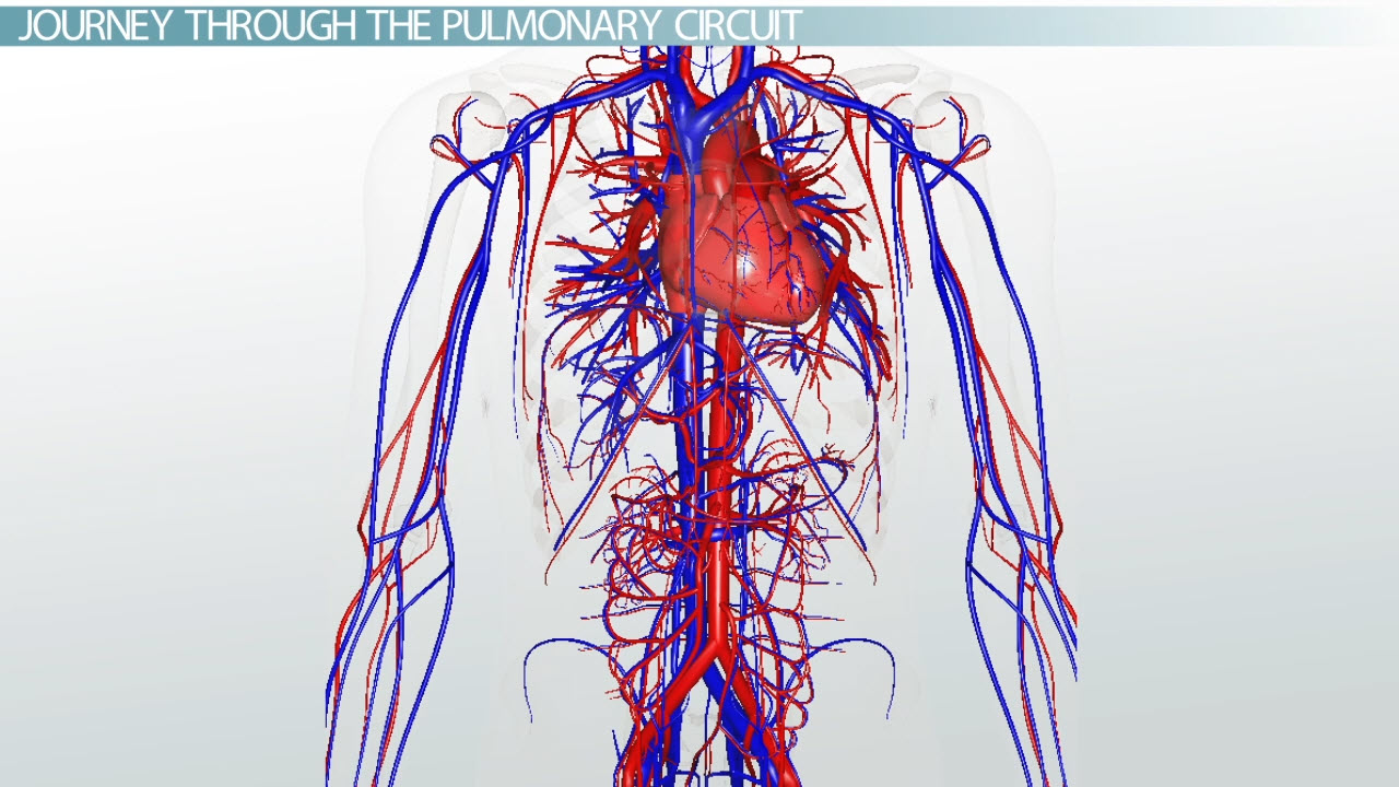 Pulmonary Circuit Definition Pathway Video Lesson Transcript Human Heart Diagrams Schematic Diagram