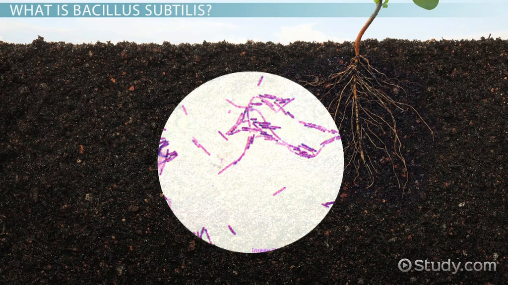 Bacillus Subtilis: Characteristics & Arrangement - Video & Lesson ...