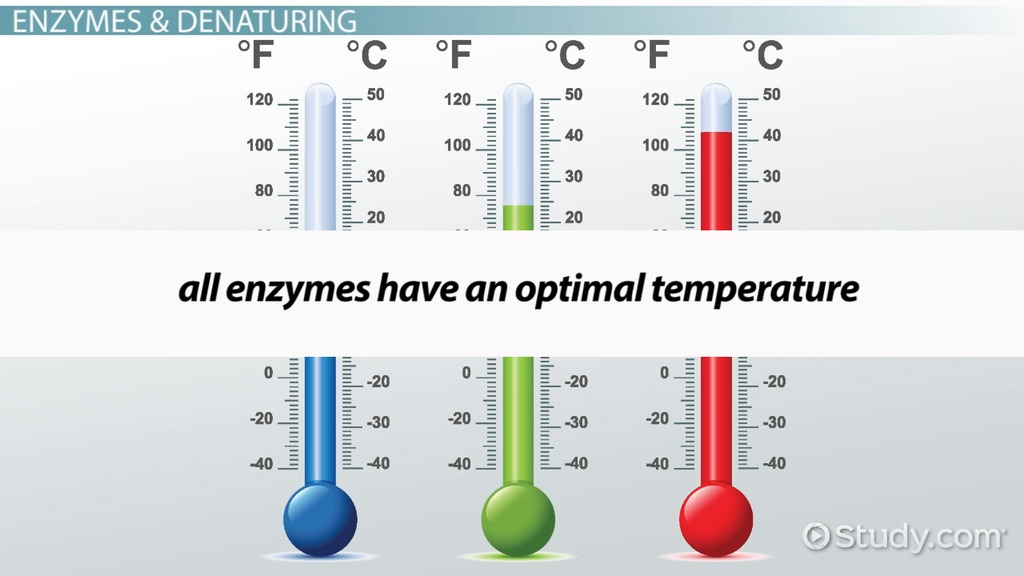 Optimum Temperature For Enzyme Activity  Definition