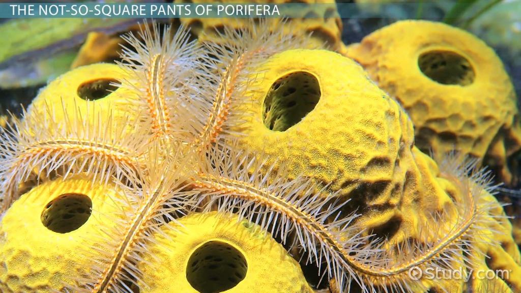 Porifera Body Plan Symmetry Skeleton Video Lesson Transcript