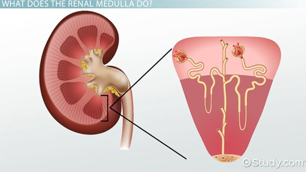 Renal Medulla Definition Function Video Lesson Transcript