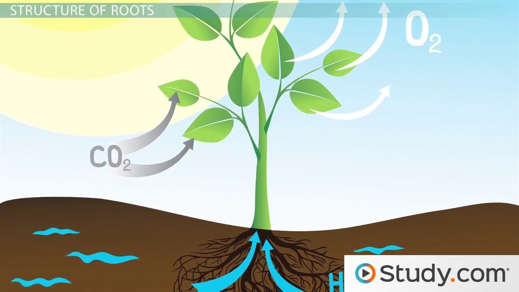 Roots & Stems: Structure & Function - Video & Lesson Transcript ...