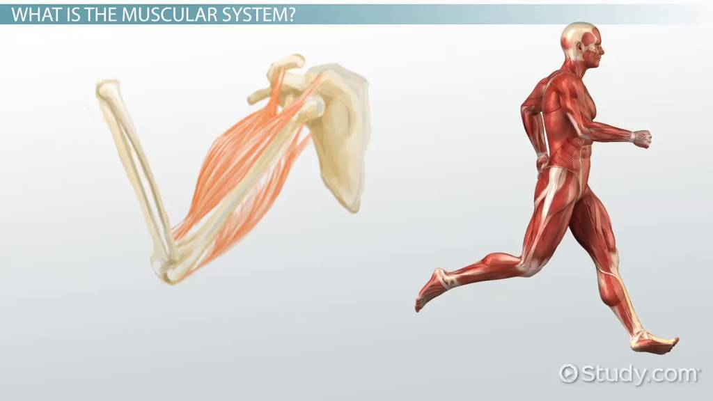 Muscular System Injuries Disorders Video Lesson Transcript