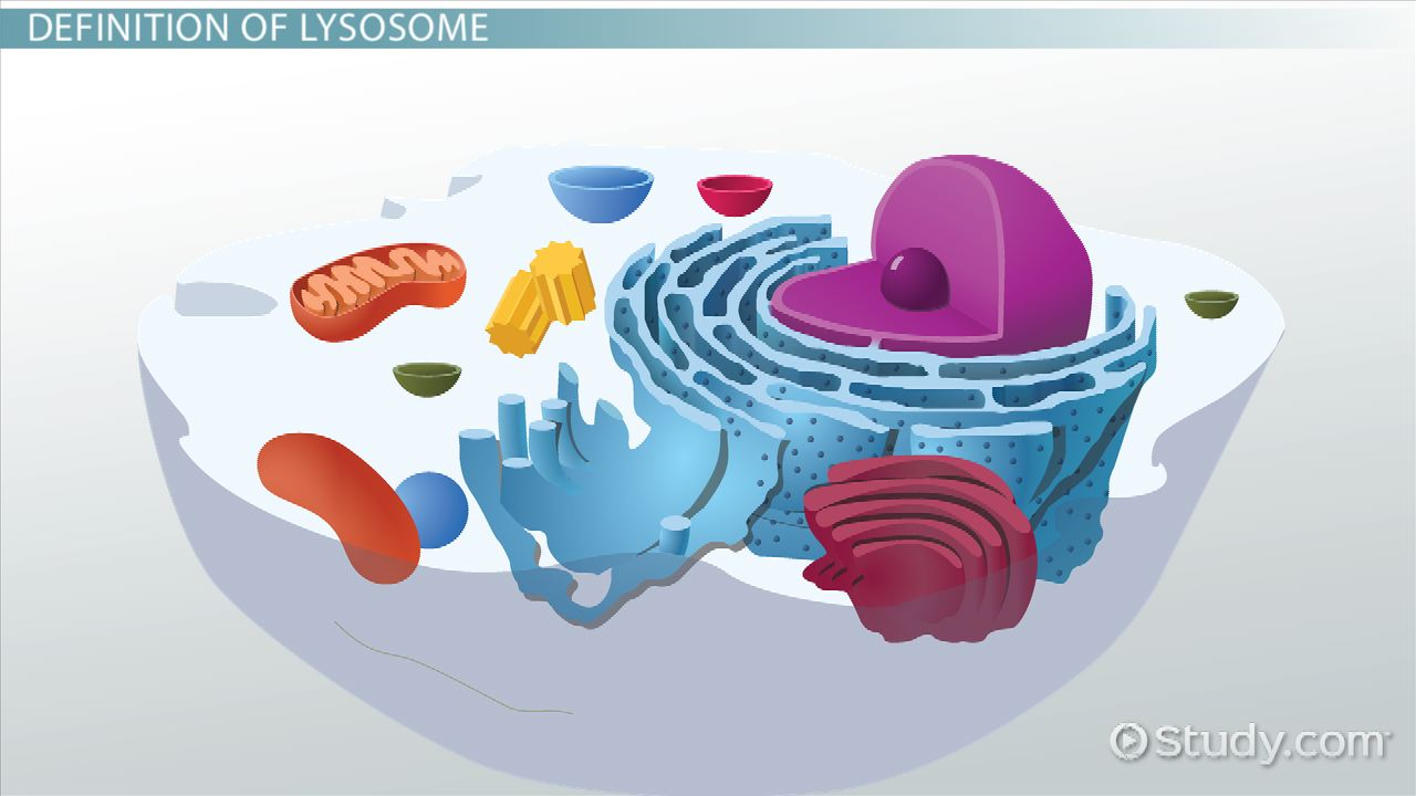 lysosome definition amp function video amp lesson