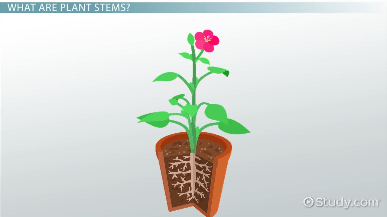 Plant Stems Amp Shoot Systems Video Amp Lesson Transcript