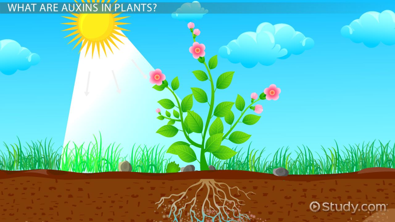 Auxins In Plants Definition Functions Video Lesson Transcript Seed Germination Diagram For Kids