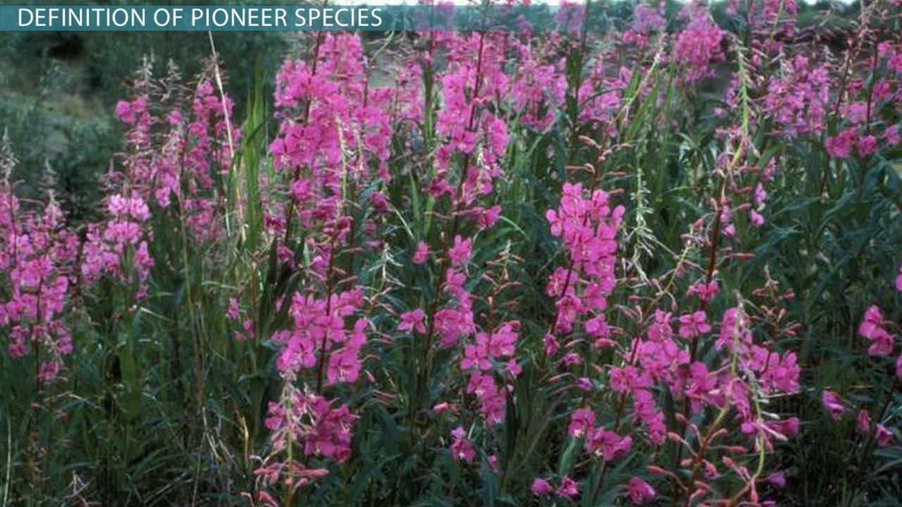 What is a Pioneer Species? - Definition & Examples - Video ...
