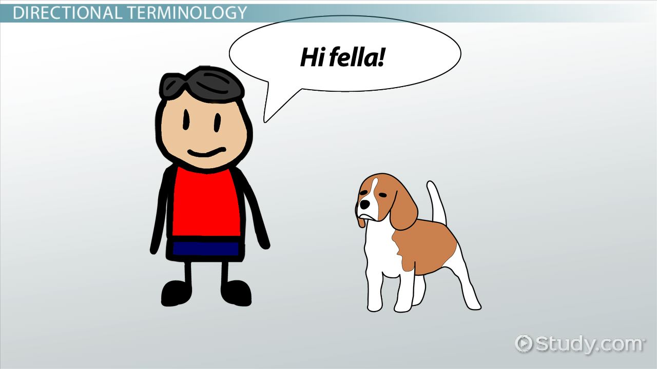 Directional Terminology For Anatomy Video Lesson Transcript