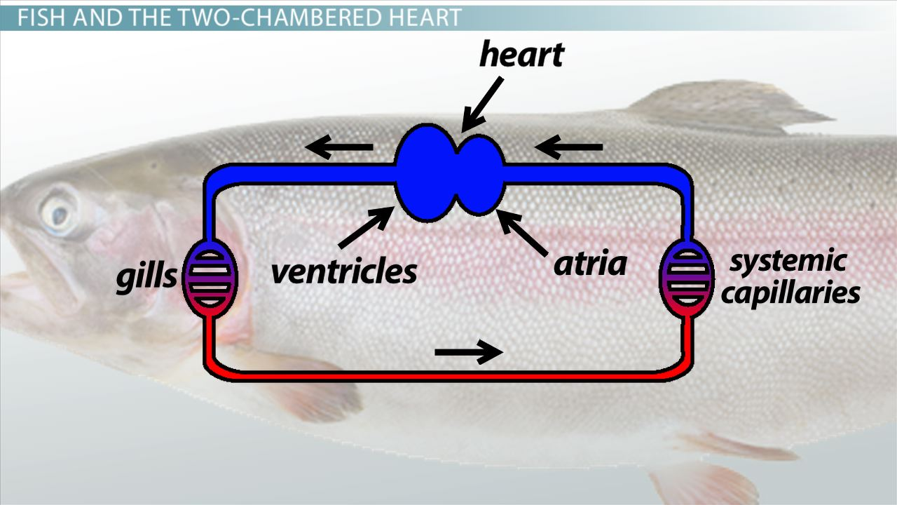 Two Chambered Heart Definition Anatomy Video Lesson Fish Diagram Of Gills A 1 Transcript