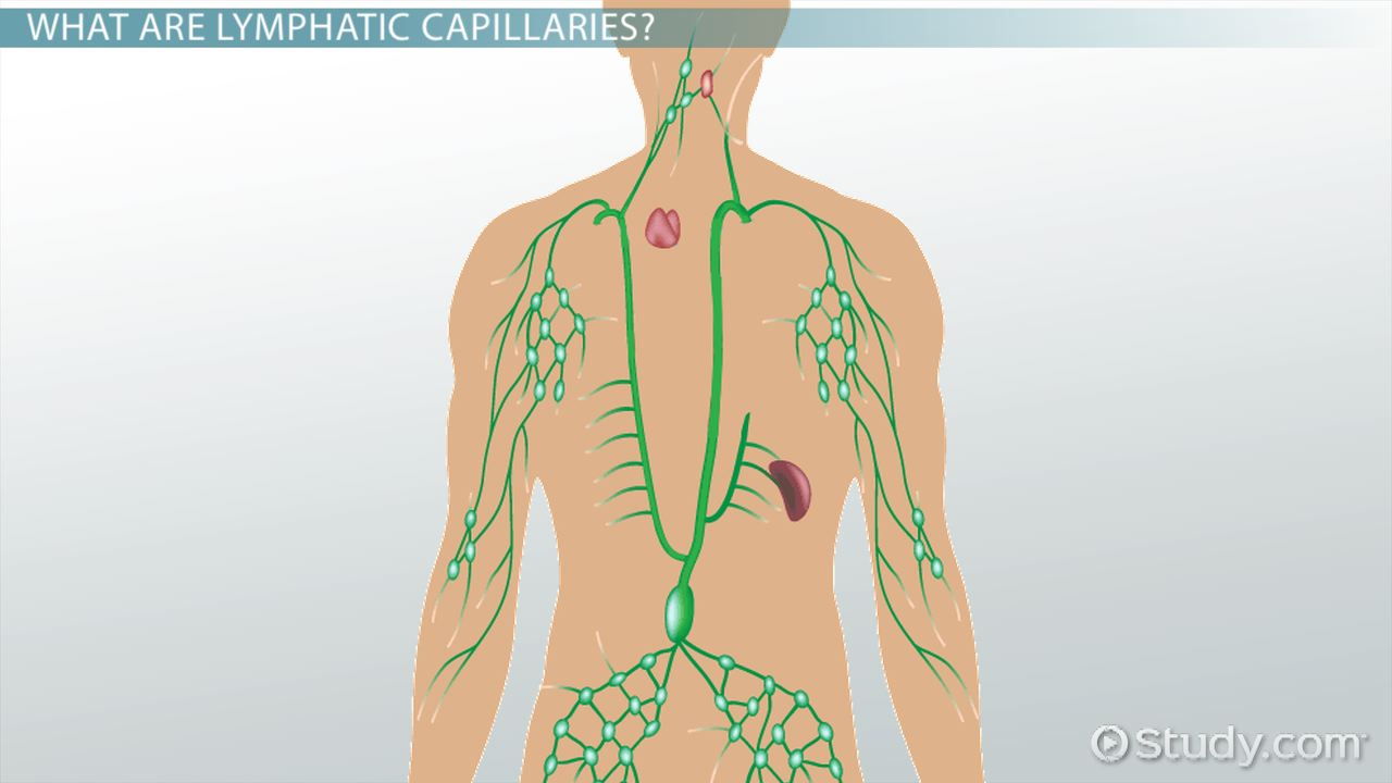 Lymphatic Capillaries: Function & Explanation - Video & Lesson ...