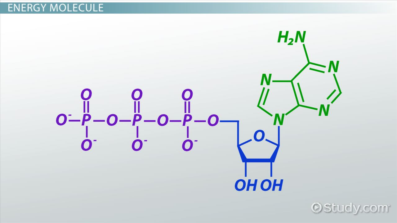 ATP: Definition & Molecules - Video & Lesson Transcript | Study.com