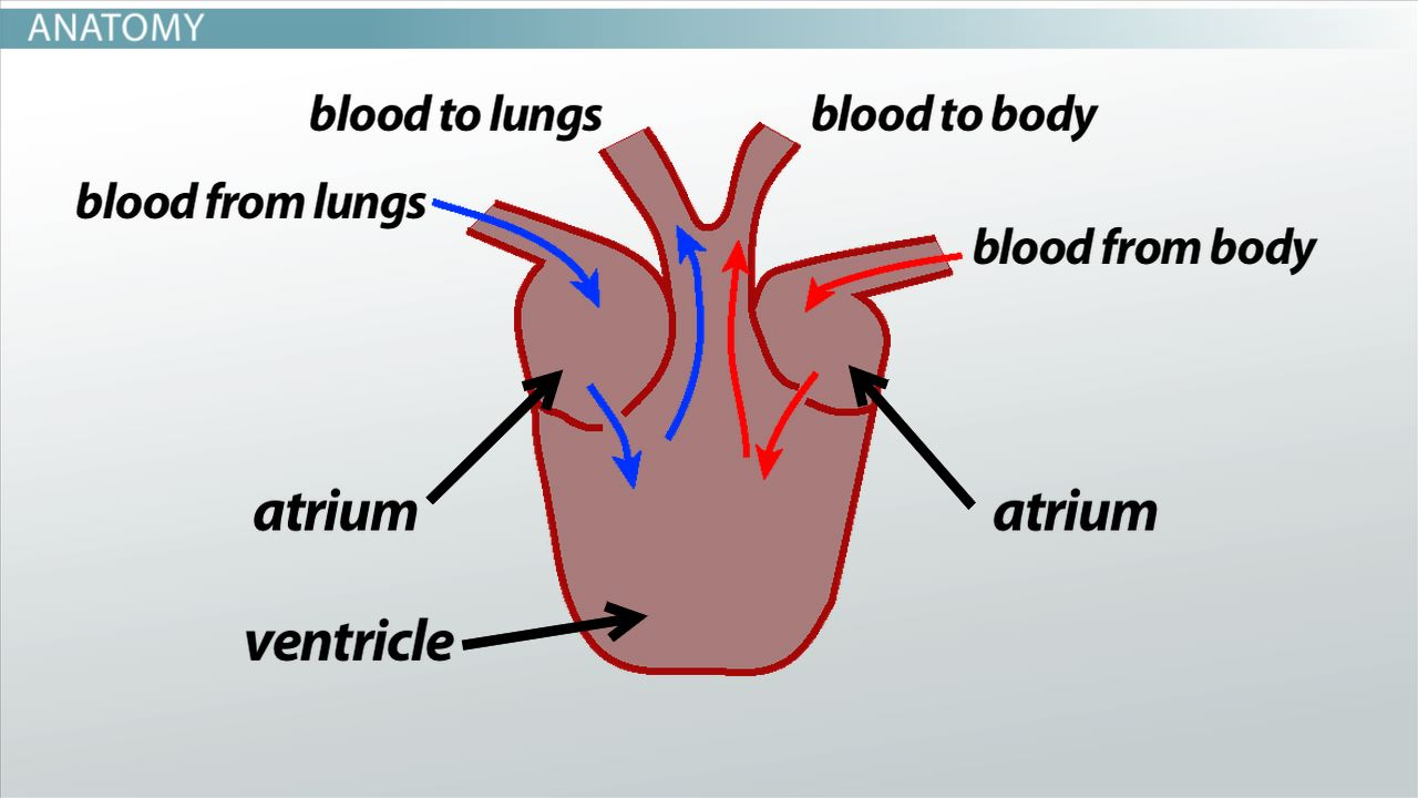 Three-Chambered Heart: Definition & Anatomy - Video & Lesson ...