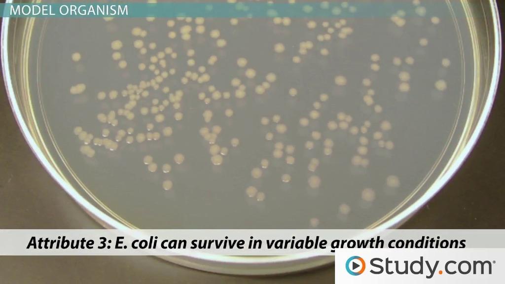 escherichia coli  e  coli  as a model organism or host cell
