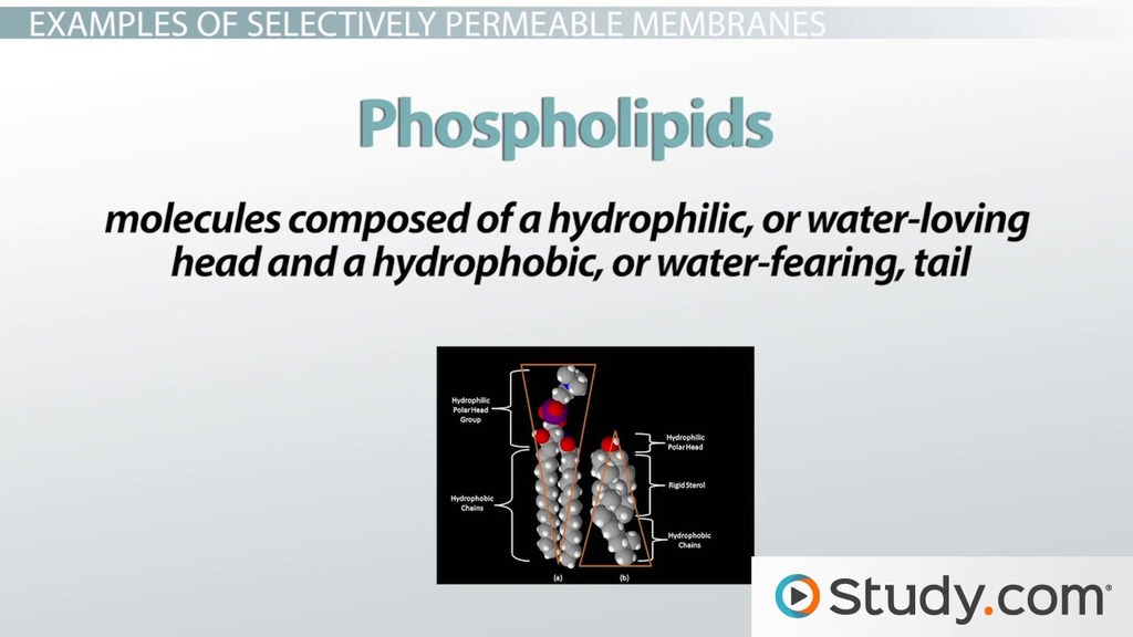 Selectively Permeable Membranes Definition Amp Examples