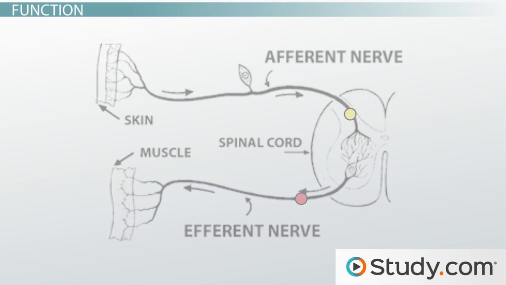 Somatic Nervous System: Definition, Function & Example - Video ...