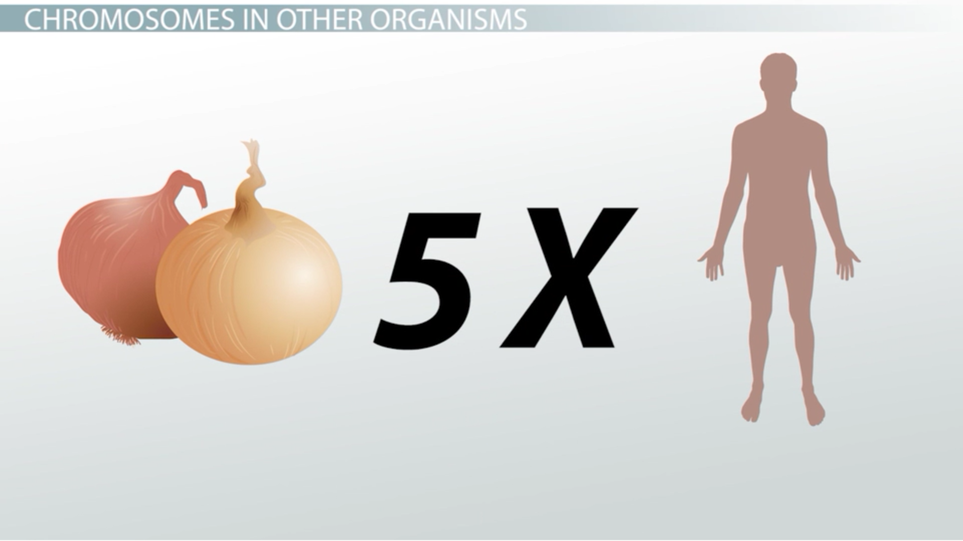 how many chromosomes do onions have