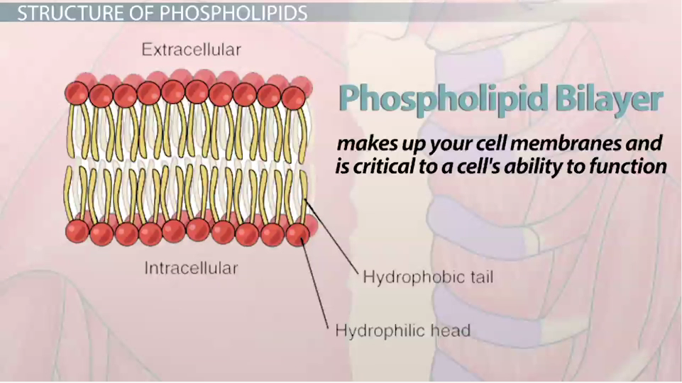 What is a Phospholipid? - Structure, Functions & Composition ...