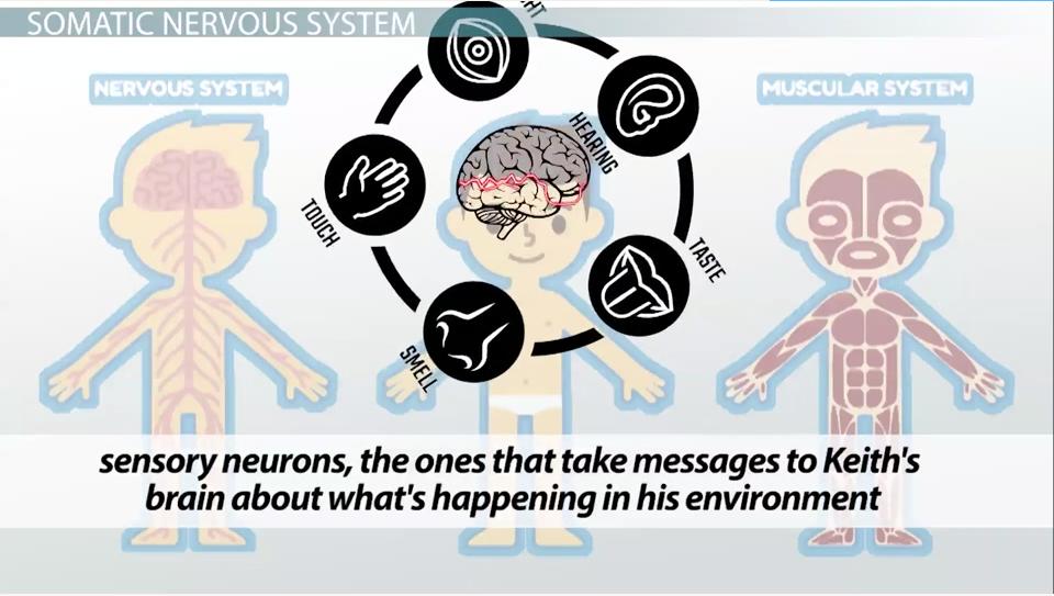 the autonomic nervous system   the autonomic nervous system jpg     Pinterest