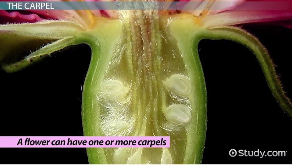 parts of a flower carpel