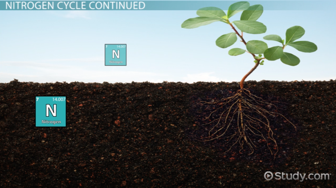 Nitrogen Fixation: Significance to Plants and Humans - Video ...