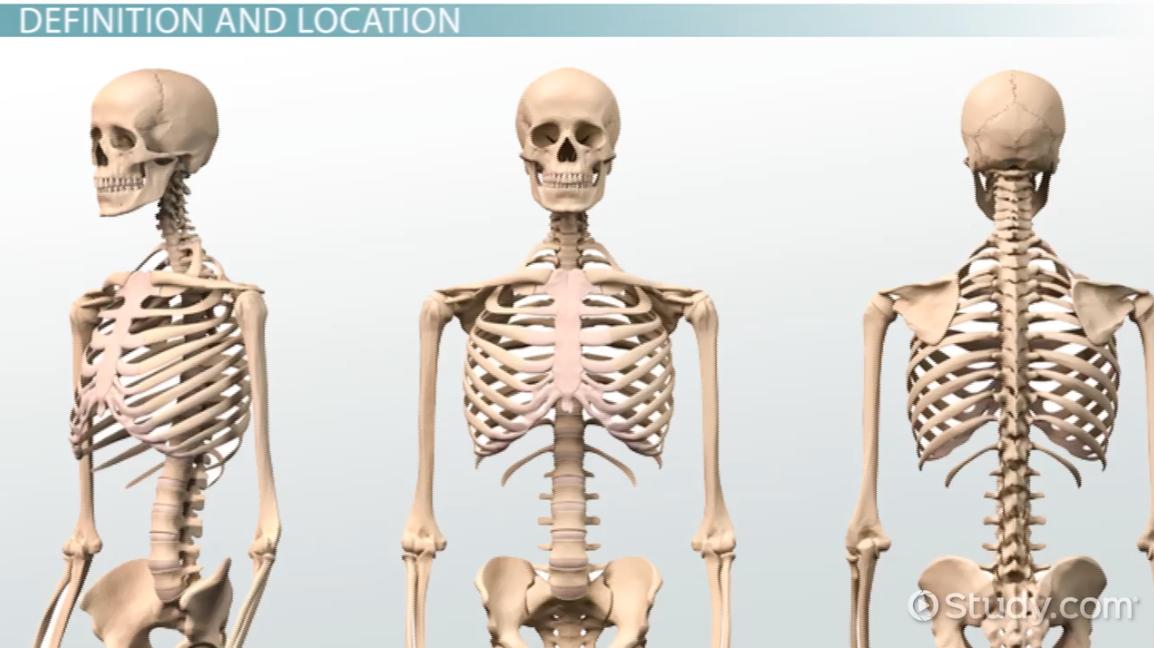 Bone marrow anatomy