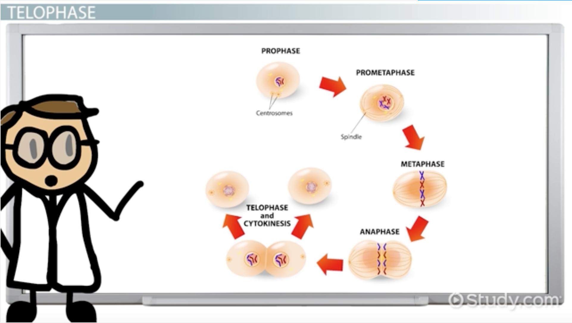 Venn diagram cytokinesis plant animal cells - Telophase Definition Explanation