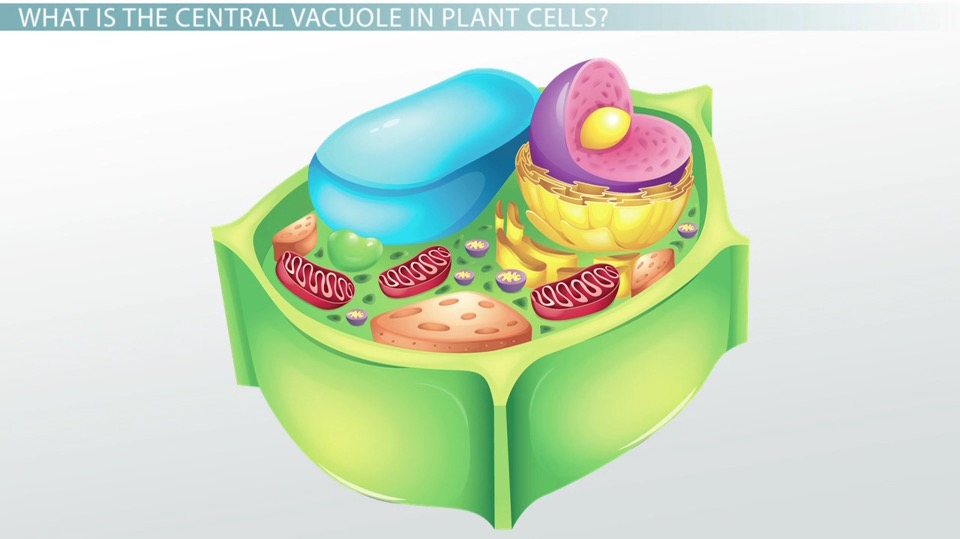 Central Vacuole in Plant Cells: Definition & Function - Video ...