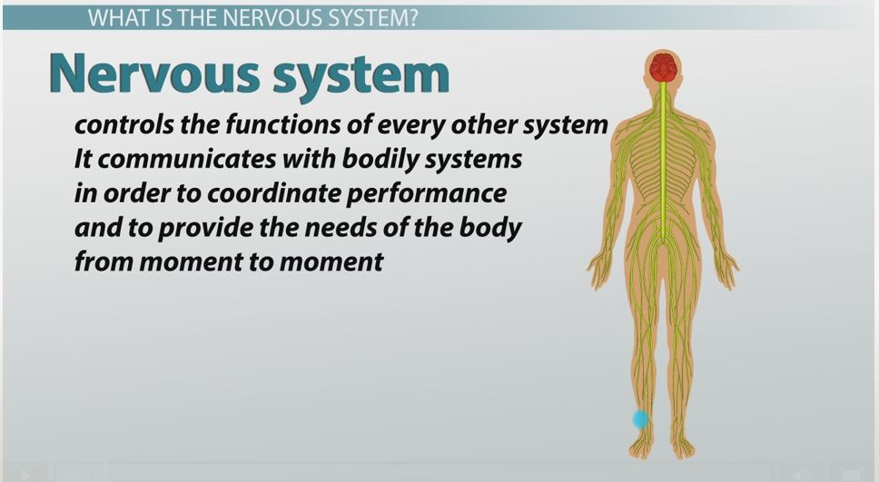 What Are Nerve Cells Function Types Structure Video Lesson