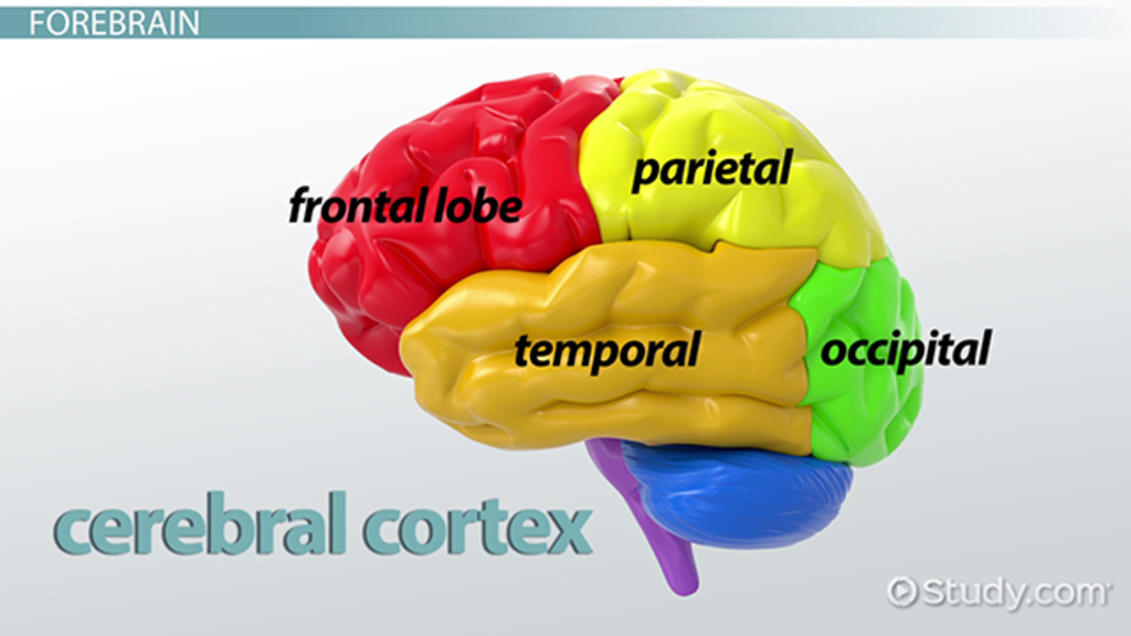 The Human Brain Structure Functions Video Lesson Transcript