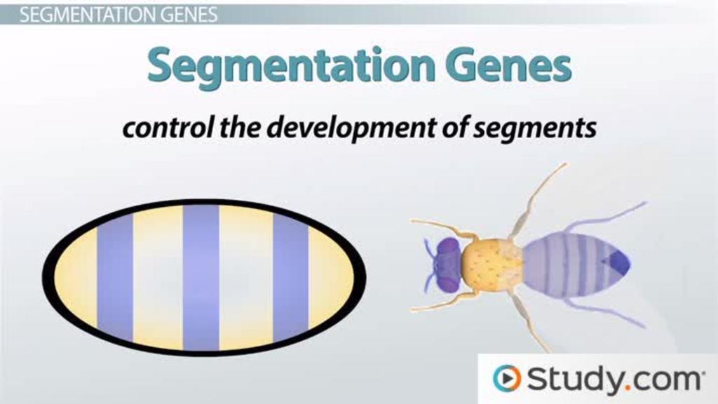 Segmentation Genes In Drosophila Development Pair Rule Segment