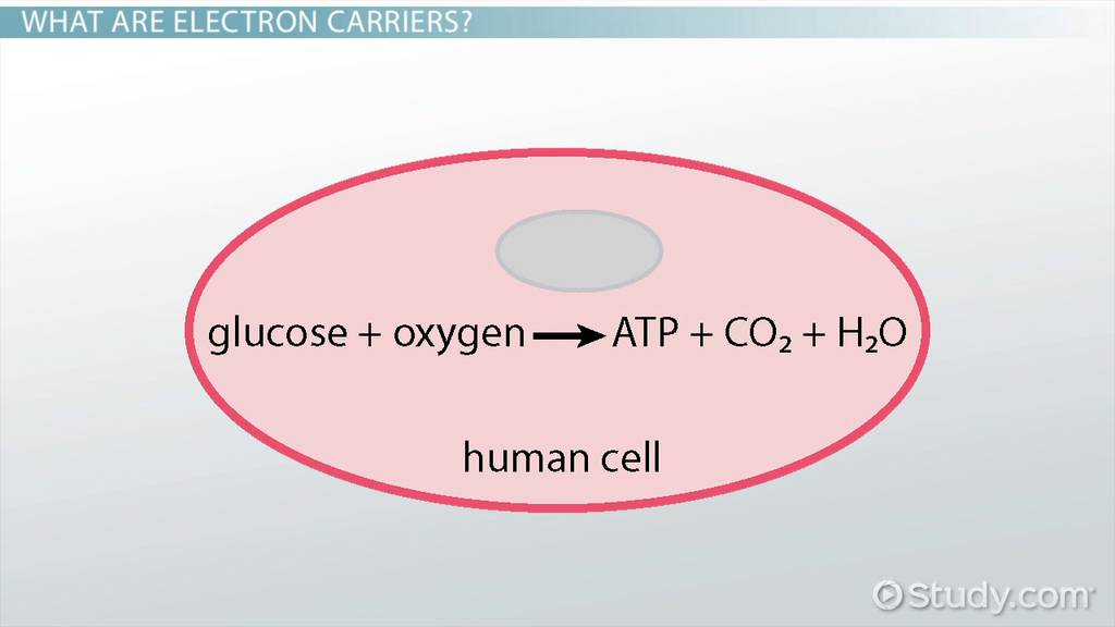 Major Structural Components of the Cell Membrane - Video & Lesson ...