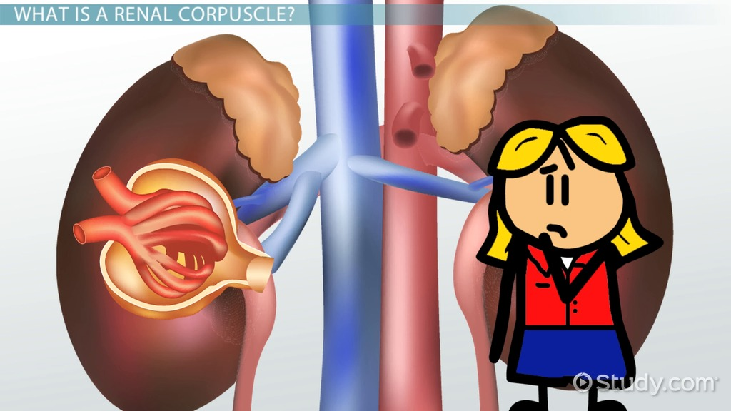 Renal Corpuscles: Definition & Function - Video & Lesson Transcript ...