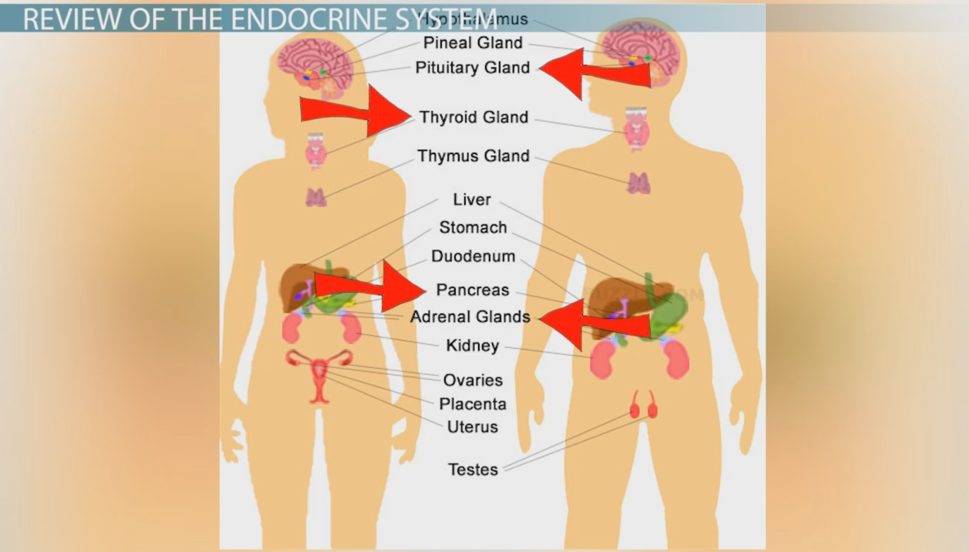 Feedback Loops In The Endocrine System Video Lesson Transcript