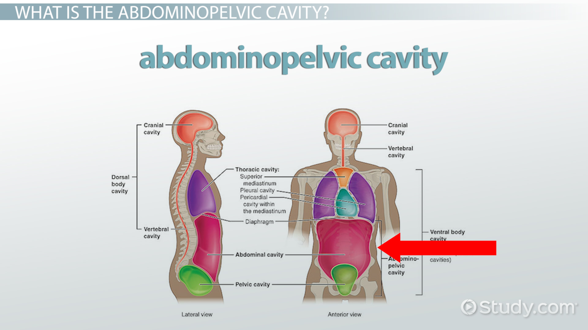 Abdominopelvic Cavity: Bony Landmarks, Organs & Regions - Video ...