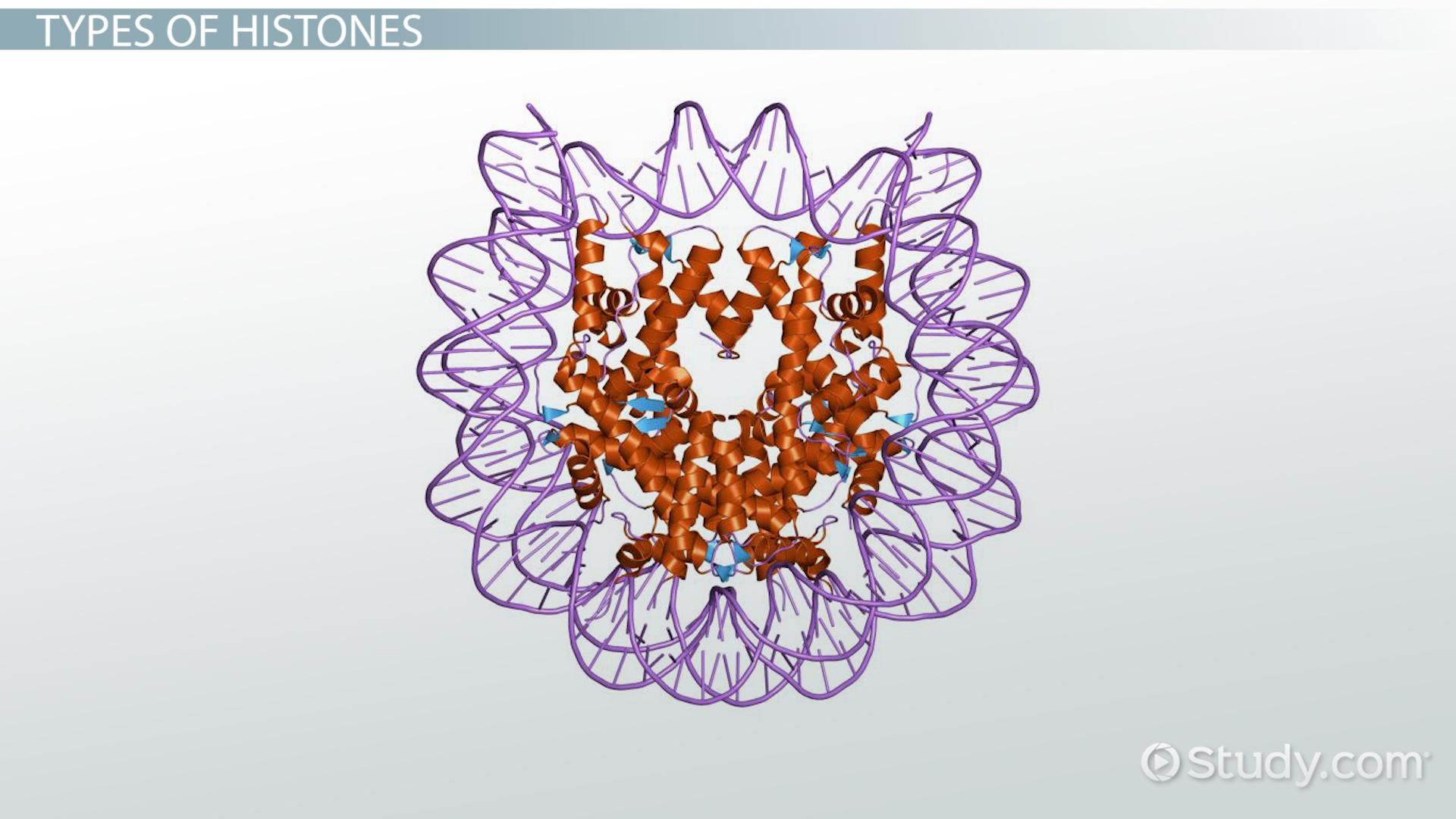 histones  function  u0026 types