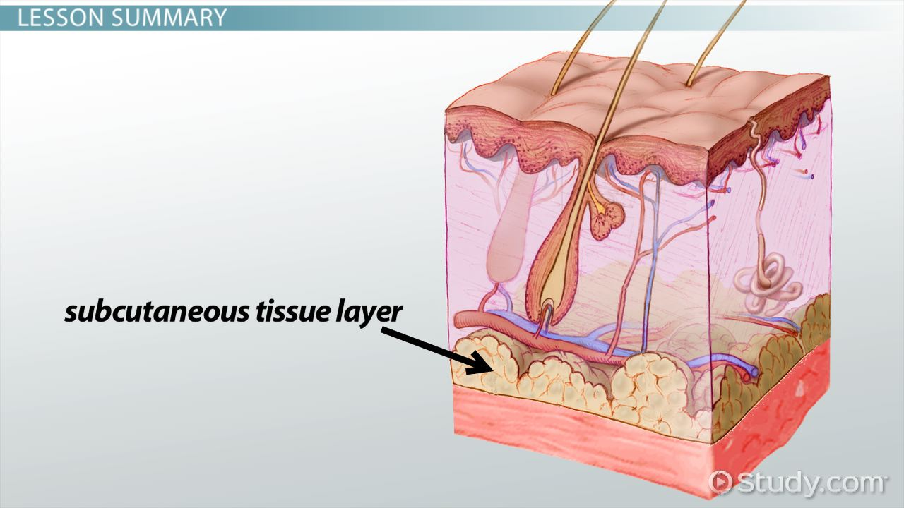 Subcutaneous Tissue Layer Definition Injections Video Lesson